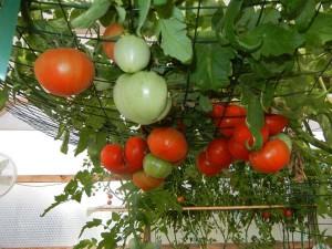 tomatoesmay 9 2013