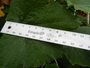 zucchini leaf 40 days ruler