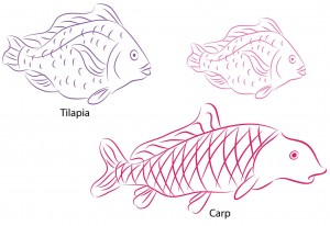 tilapia image2