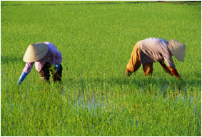 Farmers Plant Rice Seedlings