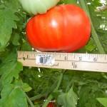 big tomatoe